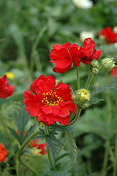 Mrs. Bradshaw Avens (Geum 'Mrs. Bradshaw') at Green Haven Garden Centre