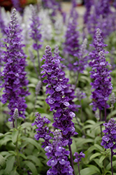 Cathedral™ Deep Blue Salvia (Salvia farinacea 'Cathedral Deep Blue') at Green Haven Garden Centre