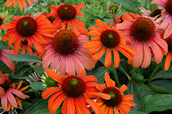 Julia Coneflower (Echinacea 'Julia') at Green Haven Garden Centre