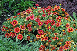 Arizona Red Shades Blanket Flower (Gaillardia x grandiflora 'Arizona Red Shades') at Green Haven Garden Centre