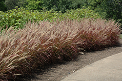 Purple Fountain Grass (Pennisetum setaceum 'Rubrum') at Green Haven Garden Centre