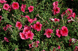 Daddy Red Petunia (Petunia 'Daddy Red') at Green Haven Garden Centre