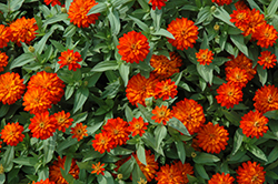 Zahara® Double Fire Zinnia (Zinnia 'Zahara Double Fire') at Green Haven Garden Centre