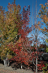 Prairie Rouge® Red Maple (Acer rubrum 'Jefrouge') at Green Haven Garden Centre