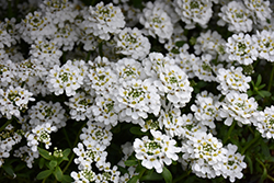 Snowflake Candytuft (Iberis sempervirens 'Snowflake') at Green Haven Garden Centre