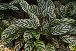 Peacock Plant (Calathea makoyana) at Green Haven Garden Centre