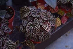 Theresa Peperomia (Peperomia caperata 'Theresa') at Green Haven Garden Centre