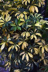 Trinette Variegated Schefflera (Schefflera arboricola 'Trinette') at Green Haven Garden Centre