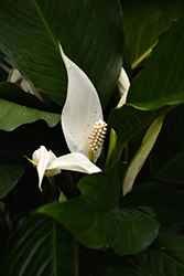 Peace Lily (Spathiphyllum wallisii) at Green Haven Garden Centre