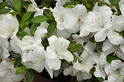 Encore® Autumn Ivory™ Azalea (Rhododendron 'Roblev') at Green Haven Garden Centre