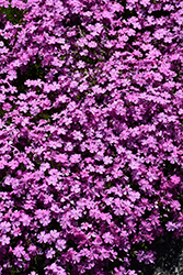 Emerald Pink Moss Phlox (Phlox subulata 'Emerald Pink') at Green Haven Garden Centre