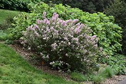 Tinkerbelle Lilac (Syringa 'Bailbelle') at Green Haven Garden Centre