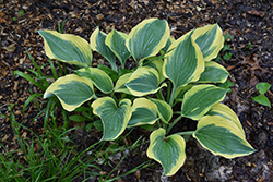 Liberty Hosta (Hosta 'Liberty') at Green Haven Garden Centre
