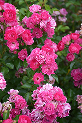 Little Mischief Rose (Rosa 'Little Mischief') at Green Haven Garden Centre