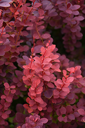 Ruby Carousel Japanese Barberry (Berberis thunbergii 'Bailone') at Green Haven Garden Centre