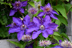 Perle d'Azur Clematis (Clematis 'Perle d'Azur') at Green Haven Garden Centre