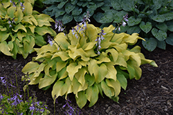 Sun Power Hosta (Hosta 'Sun Power') at Green Haven Garden Centre