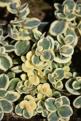 Lime Twister Stonecrop (Sedum 'Lime Twister') at Green Haven Garden Centre