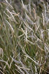 Blonde Ambition Blue Grama Grass (Bouteloua gracilis 'Blonde Ambition') at Green Haven Garden Centre