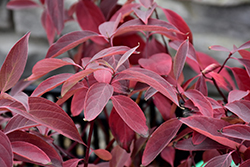 Arctic Fire Dogwood (Cornus sericea 'Farrow') at Green Haven Garden Centre
