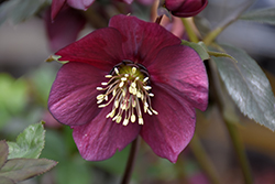 Winter Jewels Ruby Wine Hellebore (Helleborus 'Ruby Wine') at Green Haven Garden Centre