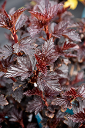 Maroon Sunset Ninebark (Physocarpus opulifolius 'Podaras 1') at Green Haven Garden Centre