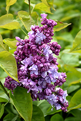 Katherine Havemeyer Lilac (Syringa vulgaris 'Katherine Havemeyer') at Green Haven Garden Centre