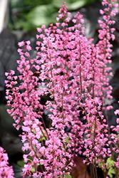 Dayglow Pink Foamy Bells (Heucherella 'Dayglow Pink') at Green Haven Garden Centre