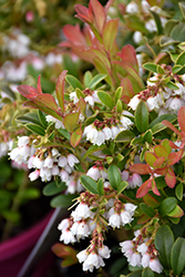 Koralle Lingonberry (Vaccinium vitis-idaea 'Koralle') at Green Haven Garden Centre