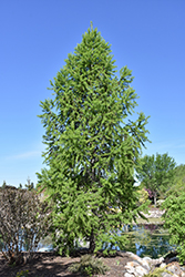 Siberian Larch (Larix sibirica) at Green Haven Garden Centre