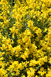 Bangle Dwarf Broom (Genista lydia 'Select') at Green Haven Garden Centre