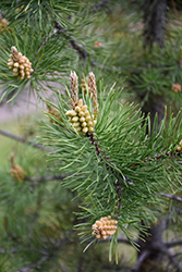 Lodgepole Pine (Pinus contorta 'var. latifolia') at Green Haven Garden Centre