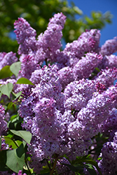 Common Lilac (Syringa vulgaris) at Green Haven Garden Centre
