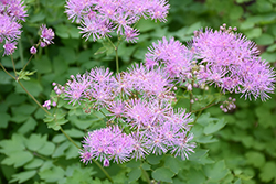 Meadow Rue (Thalictrum aquilegifolium) at Green Haven Garden Centre