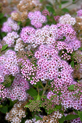 Little Princess Spirea (Spiraea japonica 'Little Princess') at Green Haven Garden Centre