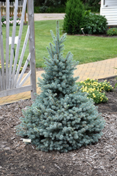 Sester Dwarf Blue Spruce (Picea pungens 'Sester Dwarf') at Green Haven Garden Centre