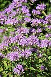 Blue Stocking Beebalm (Monarda didyma 'Blue Stocking') at Green Haven Garden Centre