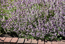 Common Thyme (Thymus vulgaris) at Green Haven Garden Centre