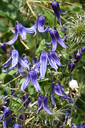 Solitary Clematis (Clematis integrifolia) at Green Haven Garden Centre
