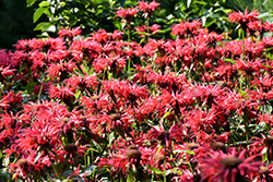 Gardenview Scarlet Beebalm (Monarda 'Gardenview Scarlet') at Green Haven Garden Centre