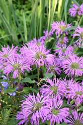 Petite Wonder Beebalm (Monarda 'Petite Wonder') at Green Haven Garden Centre