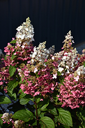 Pinky Winky Hydrangea (Hydrangea paniculata 'DVPPINKY') at Green Haven Garden Centre