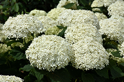 Invincibelle Limetta Hydrangea (Hydrangea arborescens 'NCHA8') at Green Haven Garden Centre