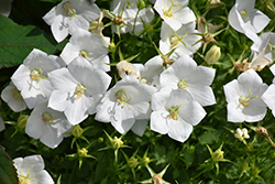 White Clips Bellflower (Campanula carpatica 'White Clips') at Green Haven Garden Centre