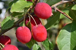 Dolgo Crabapple (Malus 'Dolgo') at Green Haven Garden Centre