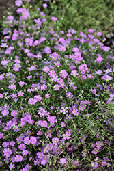 Pink Creeping Baby's Breath (Gypsophila repens 'Rosea') at Green Haven Garden Centre