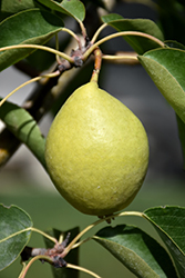 Early Gold Pear (Pyrus ussuriensis 'Early Gold') at Green Haven Garden Centre
