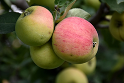 Norland Apple (Malus 'Norland') at Green Haven Garden Centre