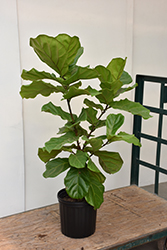 Fiddle Leaf Fig (Ficus lyrata) at Green Haven Garden Centre