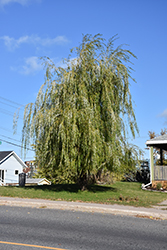 Prairie Cascade Weeping Willow (Salix 'Prairie Cascade') at Green Haven Garden Centre